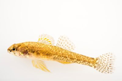 Photo: Iowa darter (Etheostoma exile) at the University Lab at the University of Minnesota in St. Paul.