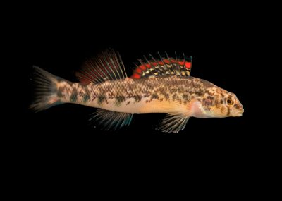 Photo: A male coosa darter (Etheostoma coosae) at the Fish Biodiversity Lab, Auburn University, Auburn, Alabama.