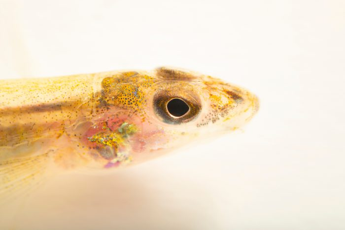 Photo: A Naked sand darter (Ammocrypta beanii) at the Auburn University Natural History Museum.