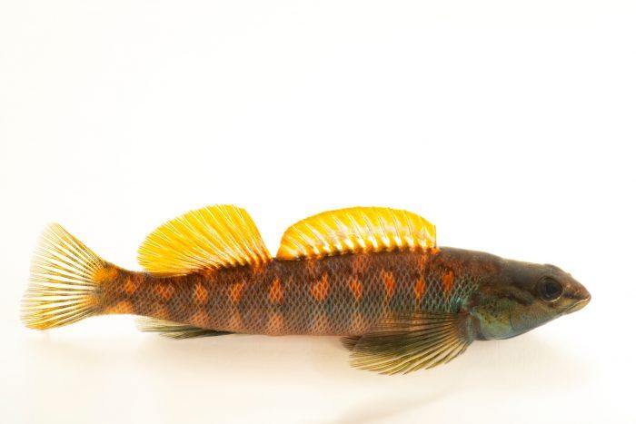 Photo: A male bronze darter (Percina palmaris) at the Fish Biodiversity Lab, Auburn University, Auburn, Alabama.