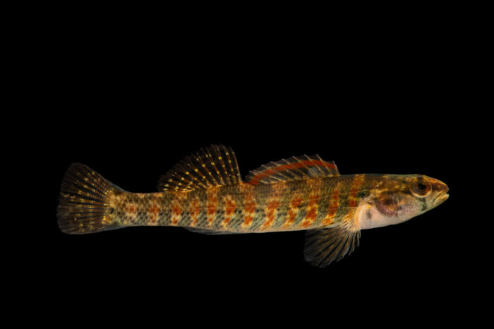 Photo: A Christmas darter (Etheostoma hopkinsi) from a private collection in Knoxville, Tennessee.