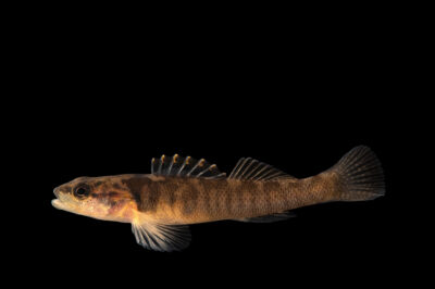 Photo: A citico darter (Etheostoma sitikuense) at Conservation Fisheries in Knoxville, Tennessee.
