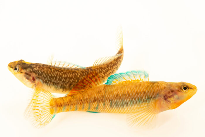 Photo: An undescribed species of Lake Phalen rainbow darter (Etheostoma cf. caeruleam) from a private collection in Knoxville, Tennessee.