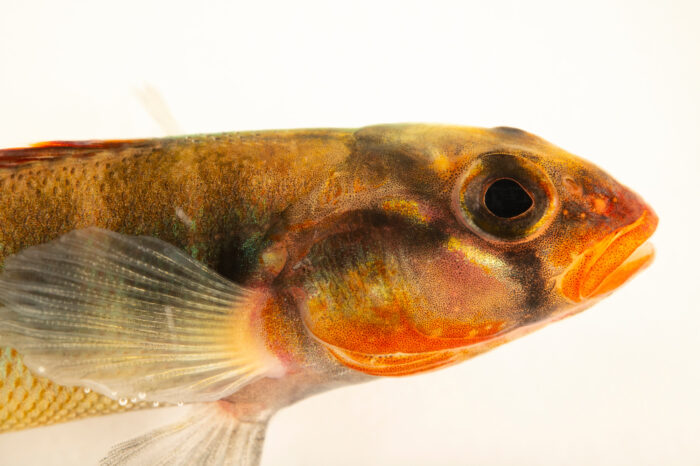 Photo: An endangered gilt darter (Percina evides) at the Center for Aquatic Mollusk Programs in Lake City, Minnesota.