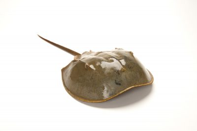 Picture of a horseshoe crab (Limulus polyphemus) that came in to spawn along the New Jersey shore's Delaware Bay.