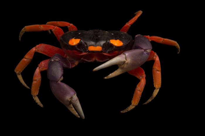 A Moon crab (Gecarcinus quadratus) at the Omaha Zoo.