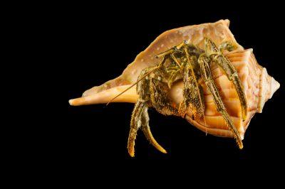 A digger hermit crab, Paguristes bakeri.