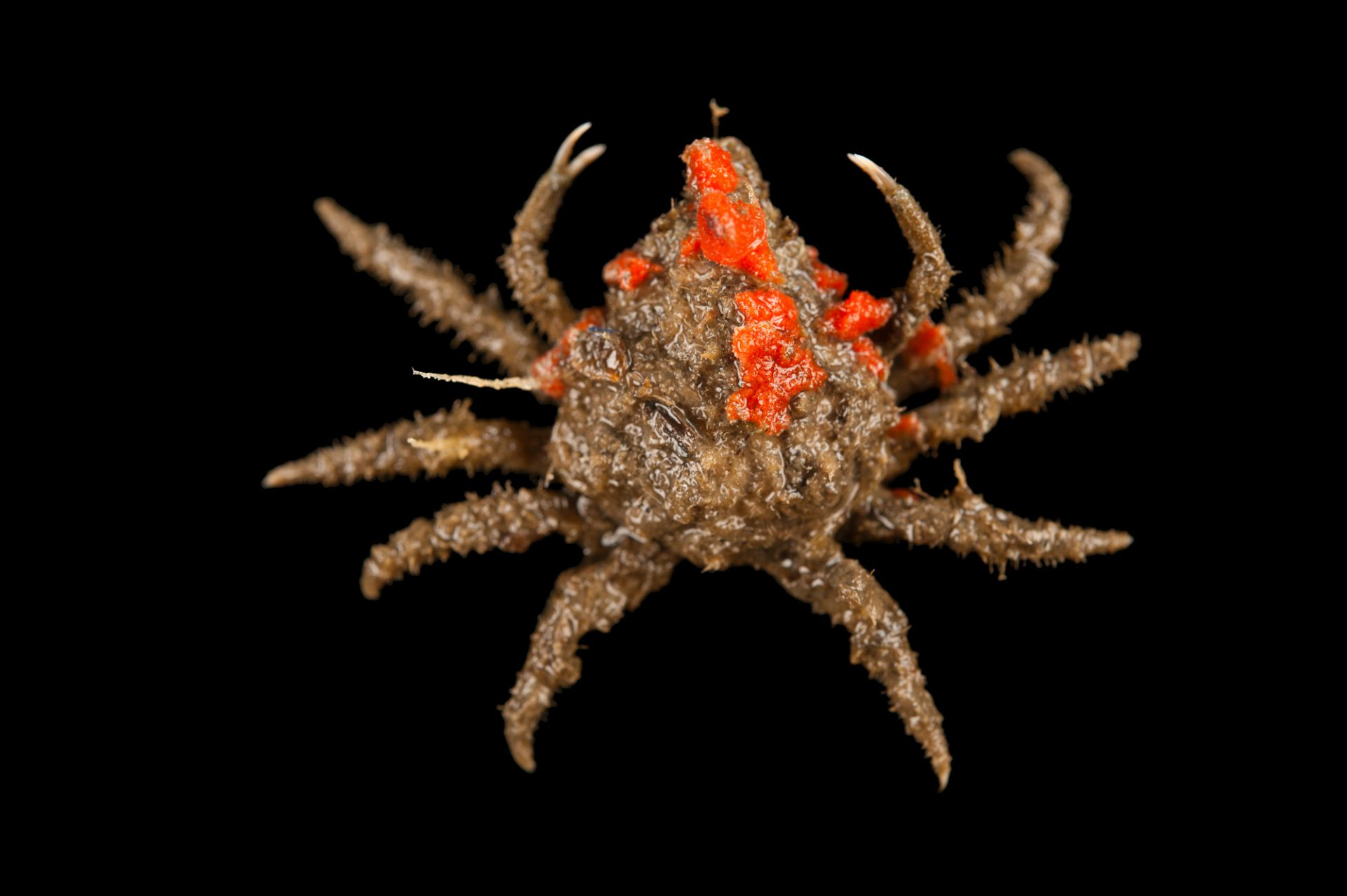 Common spider crab, also known portly spider crab or nine-spined spider crab (Libinia emarginata), with red beard sponge that it has attached to its shell at the Sedge Island Natural Resource Education Center in the Sedge Islands Marine Conservation Zone, Barnegat Bay, New Jersey.