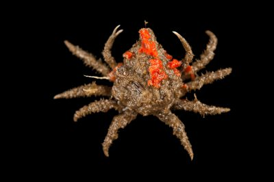 Common spider crab, also known portly spider crab or nine-spined spider crab, Libinia emarginata, with red beard sponge that it has attached to its shell at the Sedge Island Natural Resource Education Center in the Sedge Islands Marine Conservation Zone, Barnegat Bay, New Jersey.