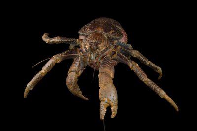 Picture of a coconut crab (Birgus latro) at the National Mississippi River Museum and Aquarium in Dubuque, Iowa.