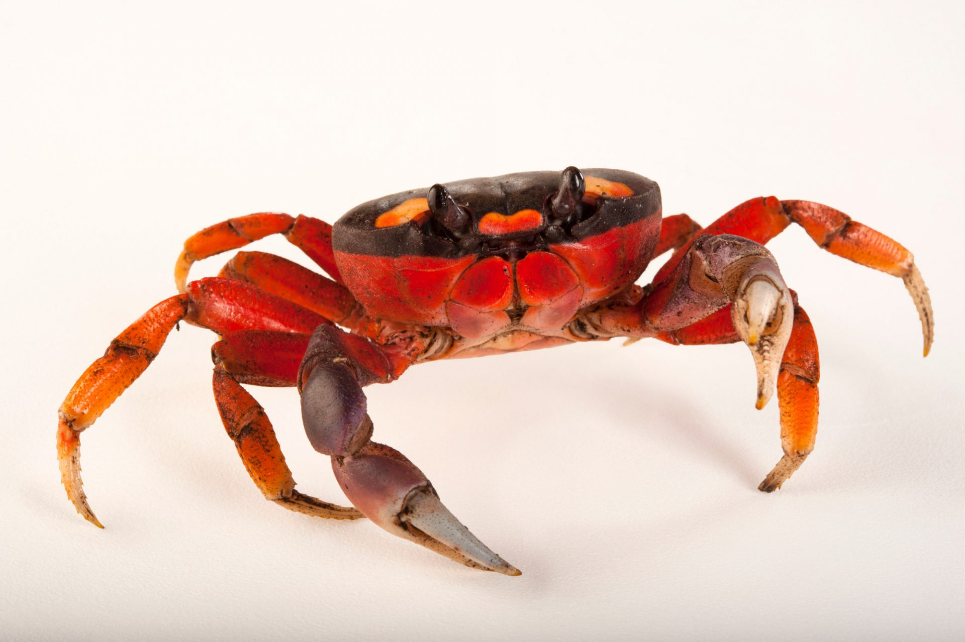 A Halloween crab (Gecarcinus quadratus) at the Audubon Zoo in New Orleans, Louisiana.