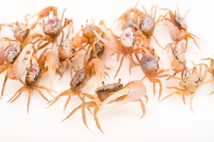 Picture of sand fiddler crabs (Uca pugilator) at Gulf Specimen Marine Lab and Aquarium.