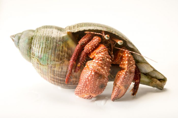 Picture of a giant red hermit crab (Petrochirus diogenes) at Gulf Specimen Marine Lab and Aquarium.