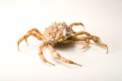 A portly spider crab (Libinia emarginata) at Gulf Specimen Marine Lab and Aquarium.