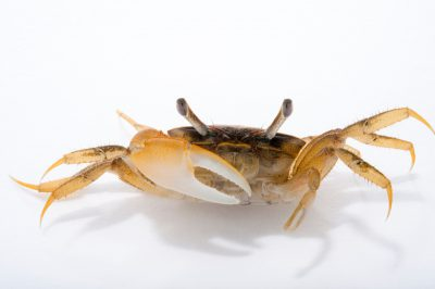 Picture of a marsh fiddler crab (Uca virens) at Pure Aquariums from the Gulf Specimen Marine Lab.