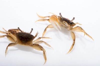 Picture of marsh fiddler crabs (Uca virens) at Pure Aquariums from the Gulf Specimen Marine Lab.