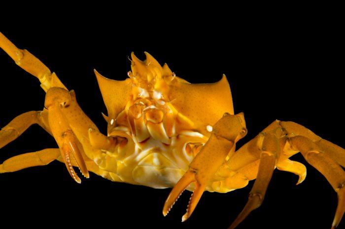 Picture of a kelp crab (Pugettia producta) at the Monterey Bay Aquarium.