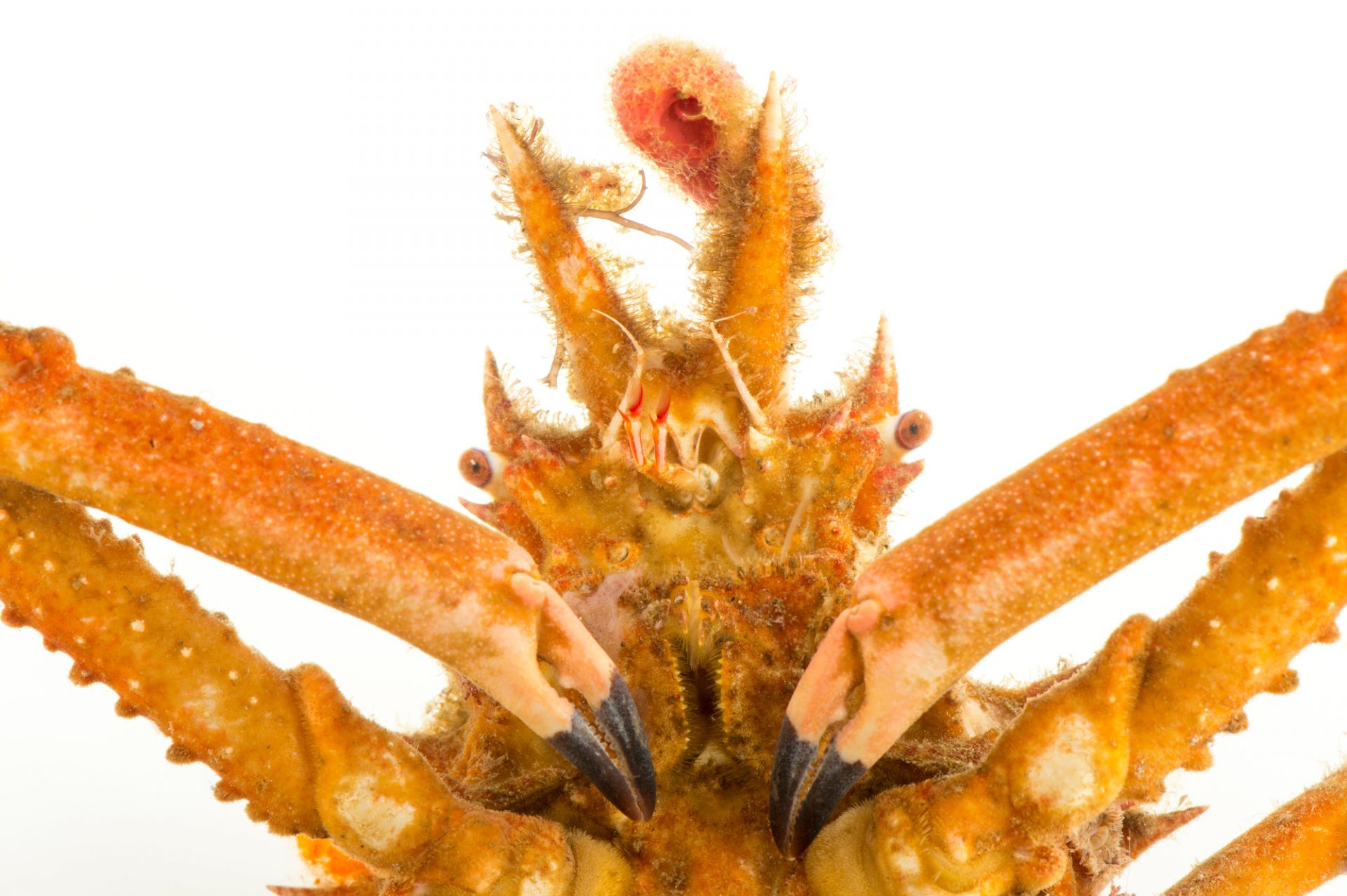 Photo: A decorator crab (Stenocionops furcata coelata) at Gulf Specimen Marine Lab.