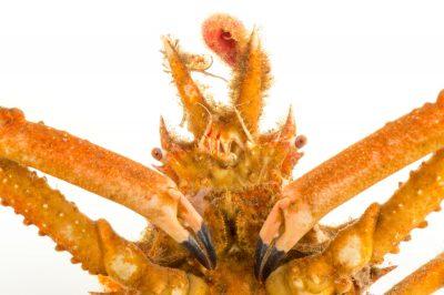 Decorator Crab Images Joel Sartore