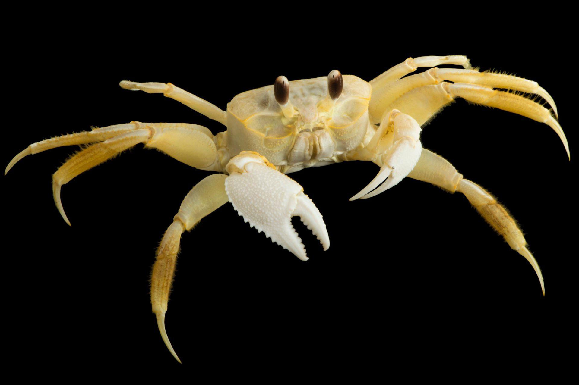 Photo: An Atlantic ghost crab (Ocypode quadrata) at Gulf Specimen Marine Lab.