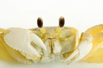 Photo: Atlantic ghost crab (Ocypode quadrata) at Gulf Specimen Marine Lab.