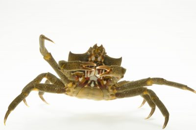 Northern kelp crab (Pugettia producta) at the Loveland Living Planet Aquarium in Draper, UT.