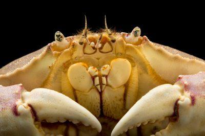Photo: Graceful crab (Metacarcinus gracilis) holding eggs under its tail at the Loveland Living Planet Aquarium in Draper, UT.