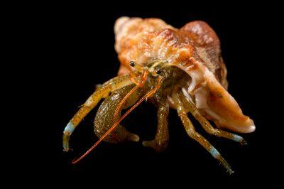 Photo: Blueband hermit crab (Pagurus samuelis) at the Loveland Living Planet Aquarium in Draper, UT.