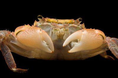 Photo: Purple shore crab (Hemigrapsus nudus) at the Loveland Living Planet Aquarium in Draper, UT.