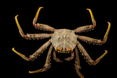 Photo: Flat rock crab (Percnon planissimum) at the Loveland Living Planet Aquarium in Draper, UT.