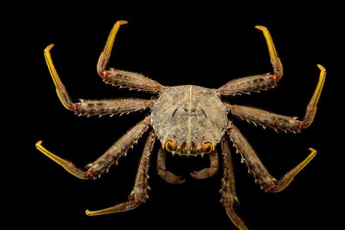 Photo: Flat rock crab (Percnon planissimum) at the Loveland Living Planet Aquarium in Draper, UT.