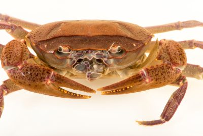 Photo: Singapore freshwater crab (Johora singaporensis) at Singapore Zoo.