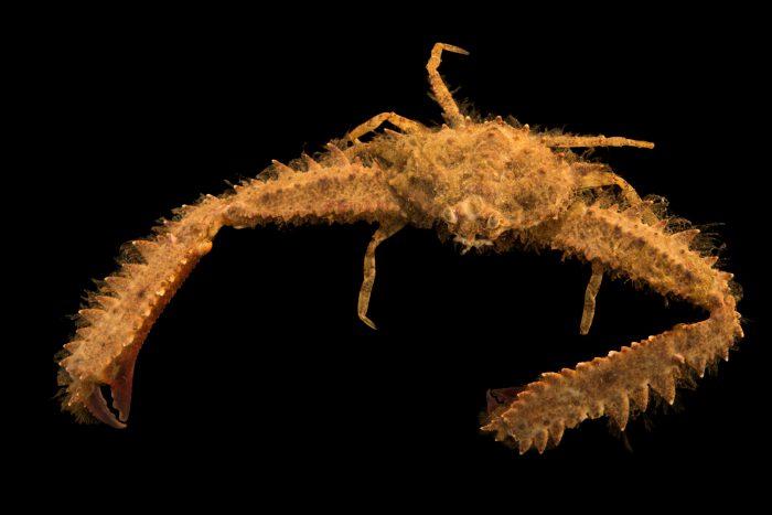 Photo: Gorilla crab or elbow crab (Parthenope granulata) at Gulf Specimen Marine Lab and Aquarium.