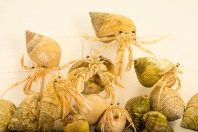 Picture of dwarf hermit crabs (Pagurus longicarpus) at Gulf Specimen Marine Lab and Aquarium.