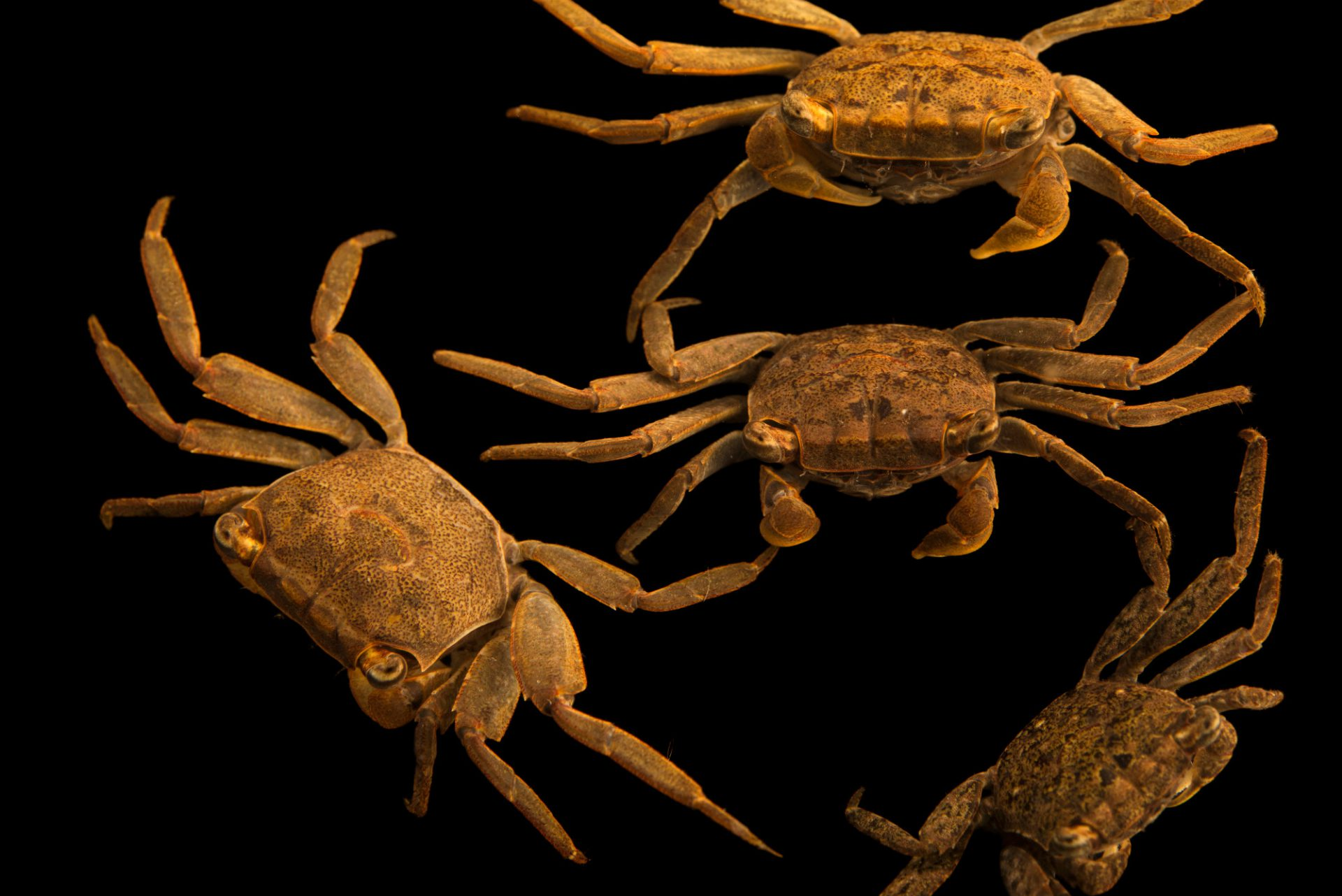 Photo: Black marsh crabs (Sesarma cinereum) at Gulf Specimen Marine Lab and Aquarium.