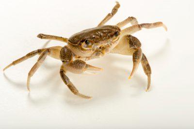 "Photo: Freshwater crab (Potamon sp ""Albania"") at the Budapest Zoo."