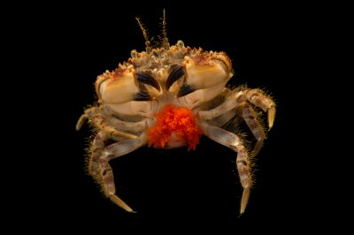 Photo: Pygmy rock crab (Glebocarcinus oregonensis) at the Alaska SeaLife Center in Seward, AK.