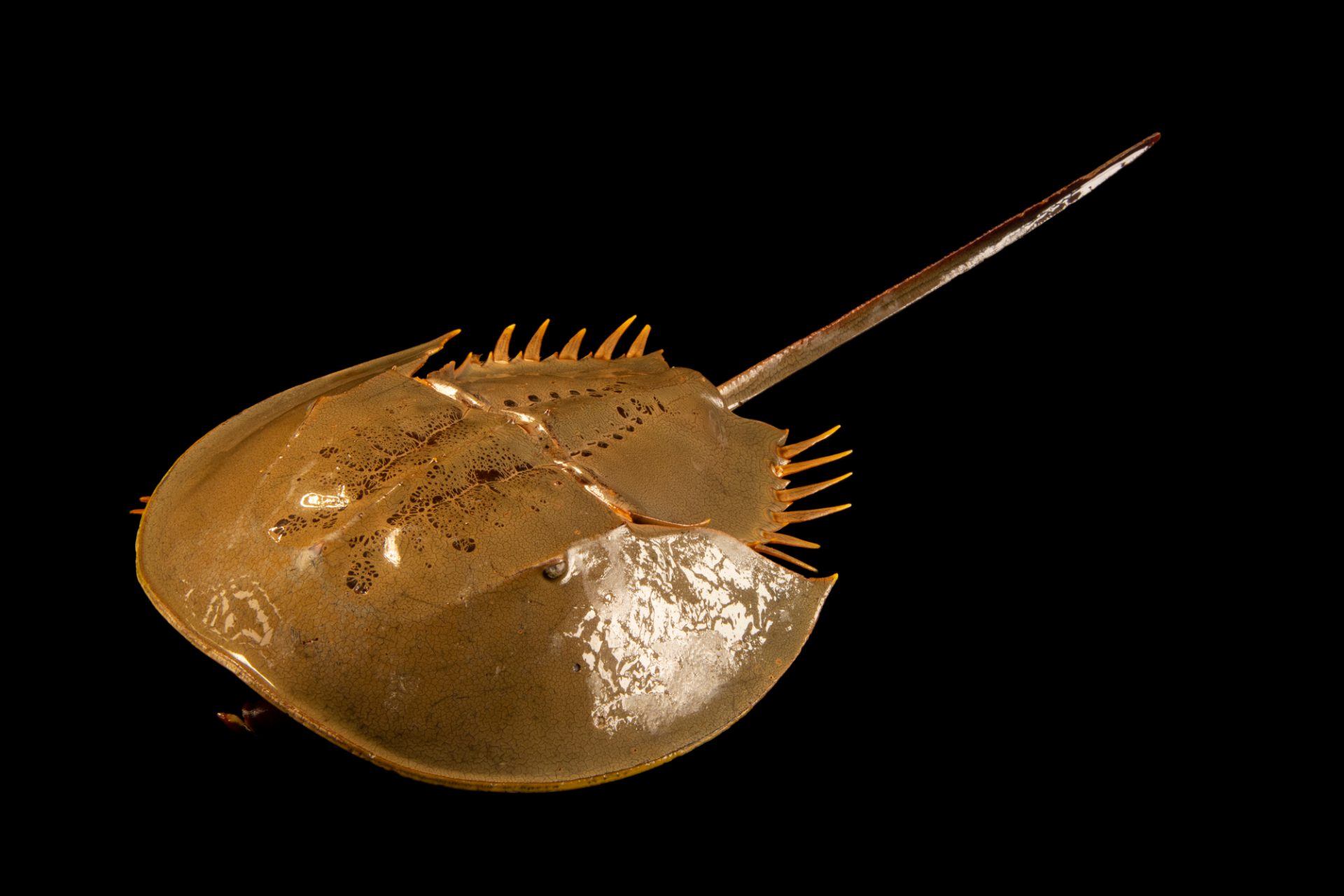 Photo: Mangrove horseshoe crab (Carcinoscorpius rotundicauda) at the Singapore Zoo.