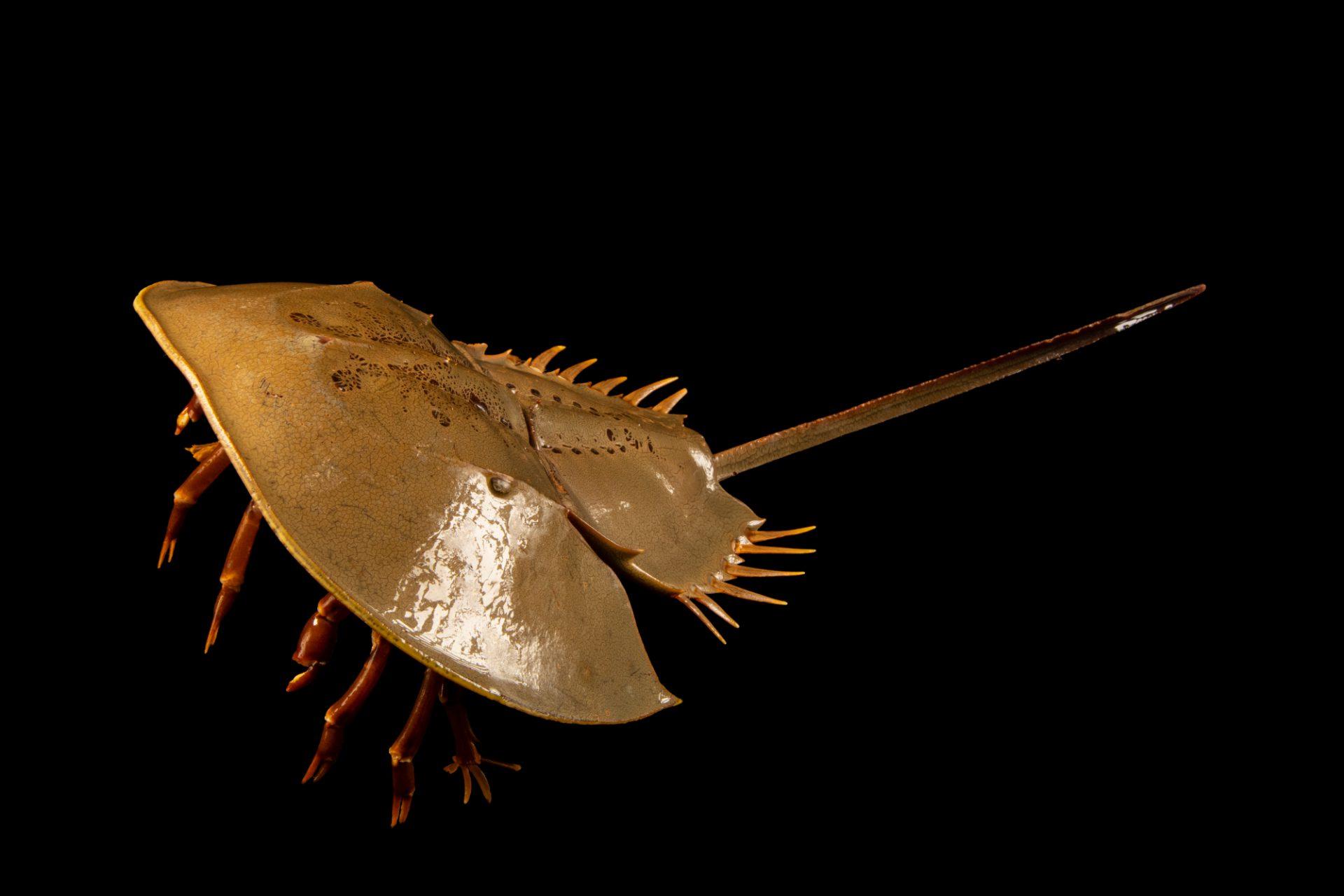 Photo: Mangrove horseshoe crab (Carcinoscorpius rotundicauda) at the Singapore Zoo.