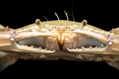 Photo: Lesser blue crab (Callinectes similis) at Gulf Specimen Marine Lab.