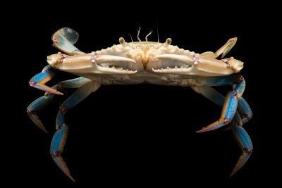 Photo: Lesser blue crab, Callinectes similis, at Gulf Specimen Marine Lab in Panacea, FL.