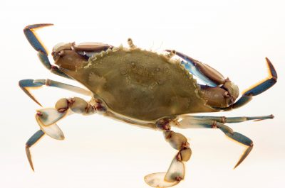 Photo: Lesser blue crab (Callinectes similis) at Gulf Specimen Marine Lab.