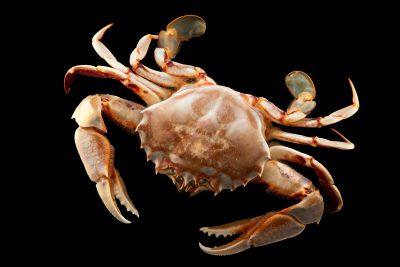 Photo: Squeaking crab (Ovalipes guadalupensis) at Gulf Specimen Marine Lab.