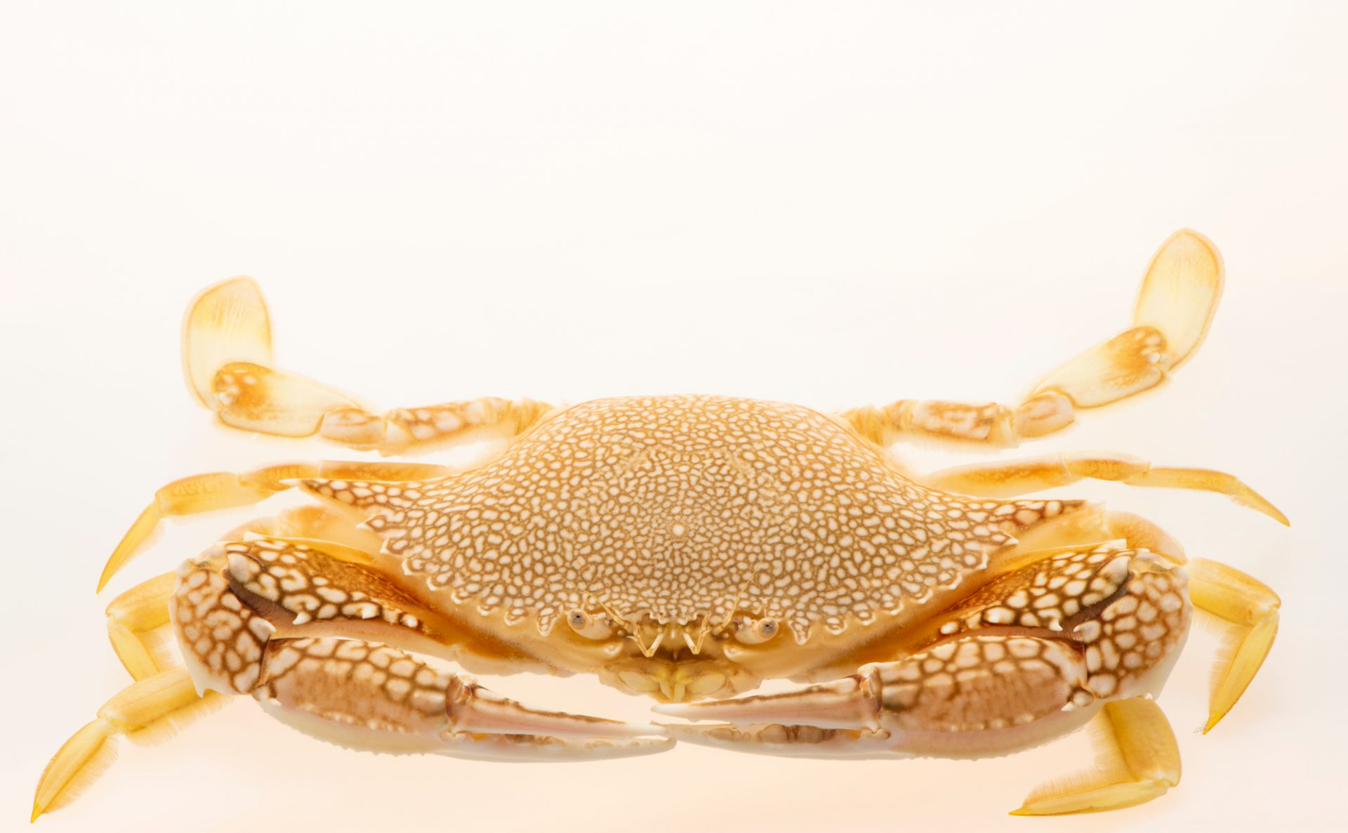 Photo: Lady crab (Arenaeus cribrarius) at Gulf Specimen Marine Lab.