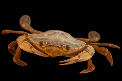 Photo: A swimming crab (Polybius henslowii) at the Littoral Station of Aguda, Portugal.