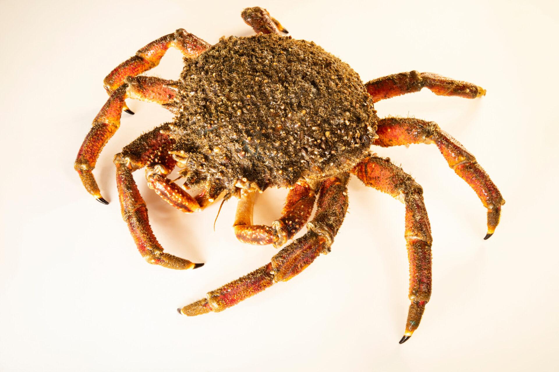Photo: A sea spider (Maja brachydactyla) at the Littoral Station of Aguda, Portugal.