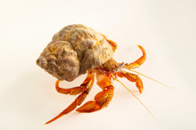 Photo: An Acadian hermit crab (Pagurus acadianus) at the Maine State Aquarium in West Boothbay, ME.