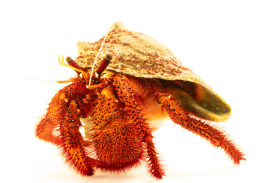 Photo: A white-spotted hermit crab (Dardanus megistos) at Riverbanks Zoo and Garden.