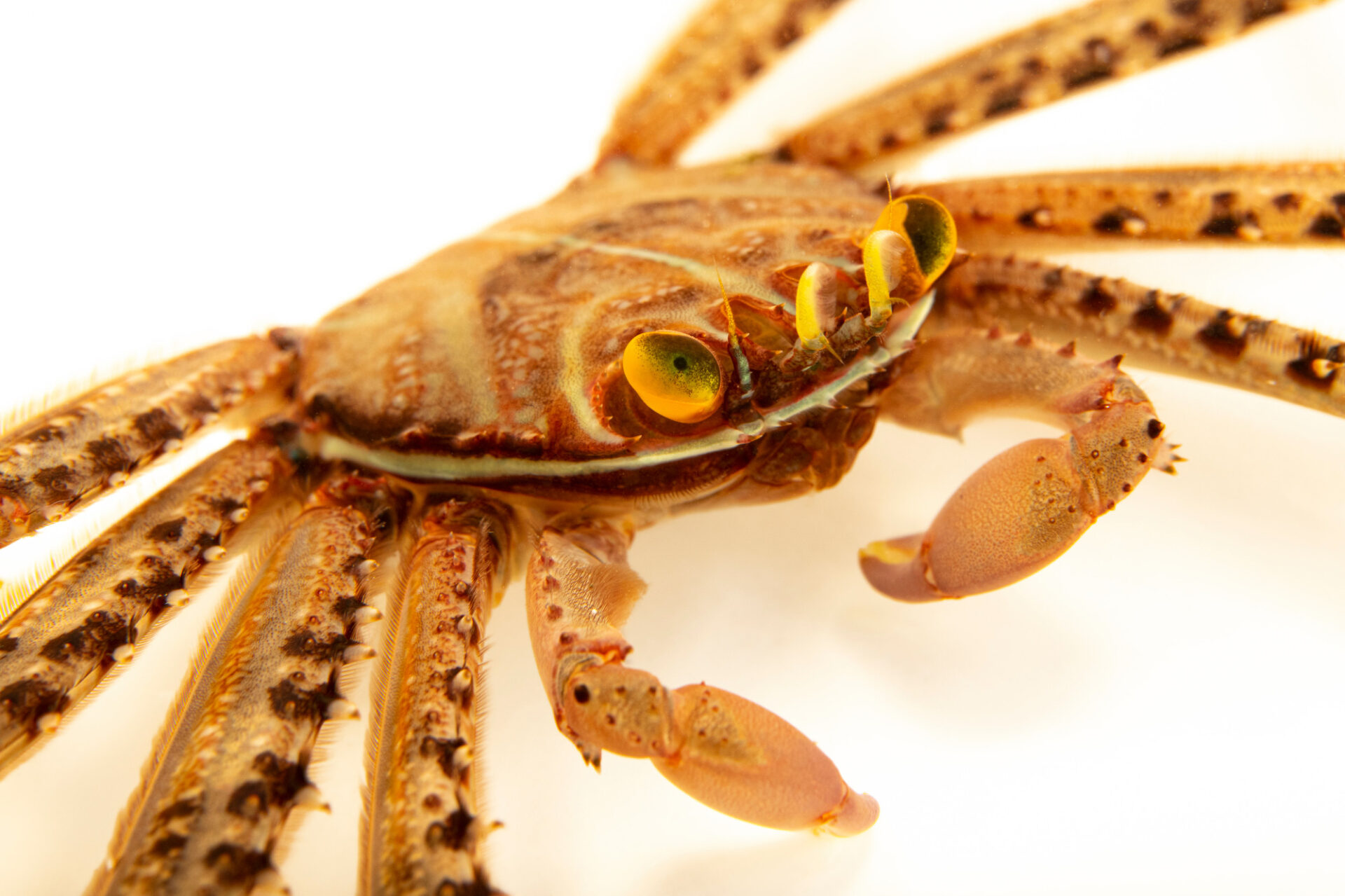 Photo: A nimble spray crab (Percnon gibbesi) at Riverbanks Zoo and Garden.