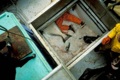 Photo: A worker cleans out a ship's hold as part of a commercial halibut fishing operation in Alaska's Pribilof Islands.
